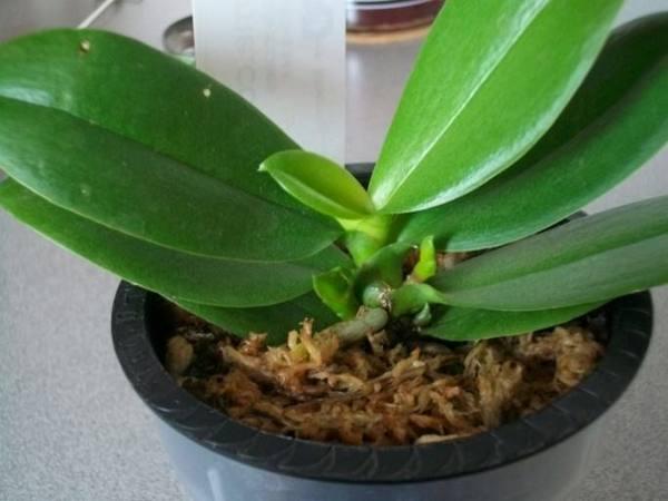 Детка орхидеи на цветке фото