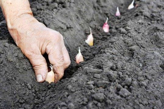 Когда сажать семена лука на зиму