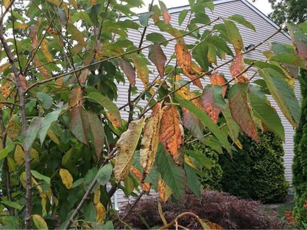 Коккомикоз вишни: описание заболевания и меры борьбы
