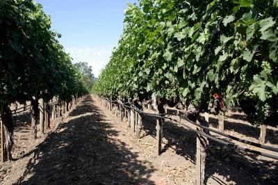 Поливать виноград во время созревания